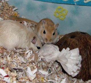 Gerbils play with a Halloween ghost
