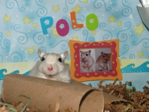 Polo the gerbil at 2 years old
