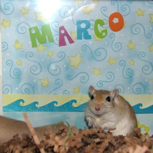 Marco the gerbil at 2 years old