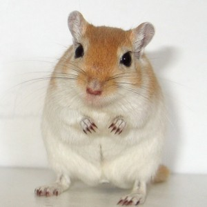 Our late gerbil Herman, who became one of the first two gerbils to become an American Gerbil Society Grand Champion