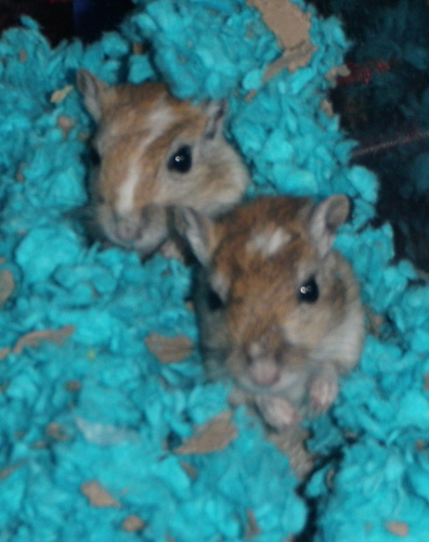 Gentry's gerbil Diamond and Olivia's gerbil Sugar