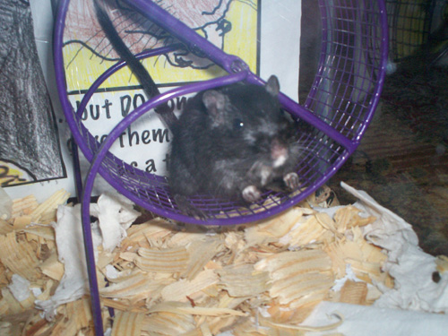 Midnight the Gerbil