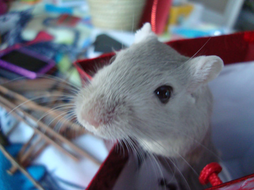 Whisper the Gerbil