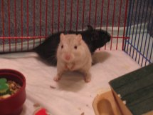 Gerbils Snowball & Midnight