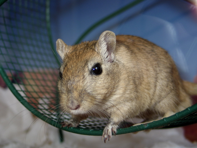 Angry gerbil - photo#14