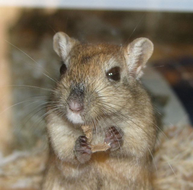Gerbils are very related to