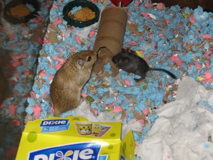foto How to Split Cage a Gerbil